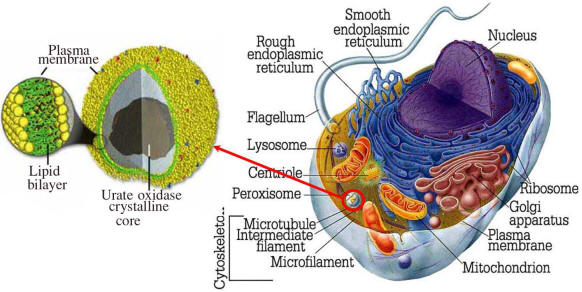 Peroxisomes in a cell
