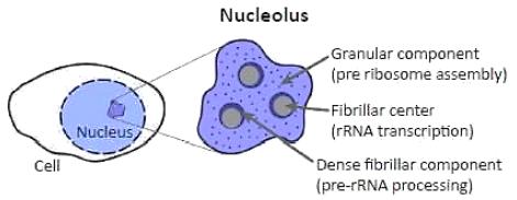Nucleolus inside a Nucleus