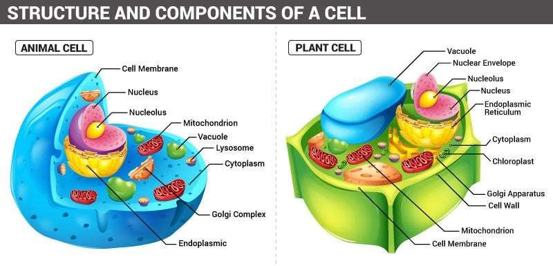 The structure of cells in plants and animals