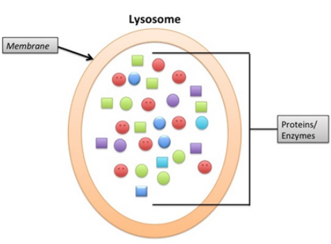 Structure of Lysosome