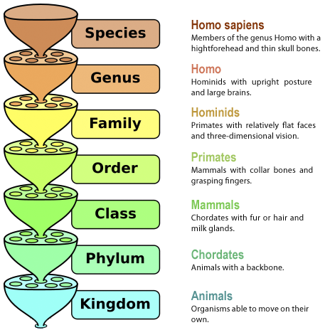Hierarchical Order of Classifying Humans