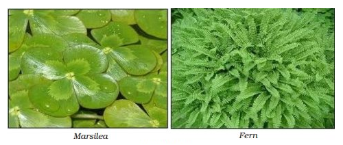 Examples of Pteridophyta