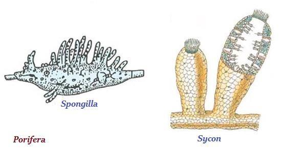 Phylum- Porifera
