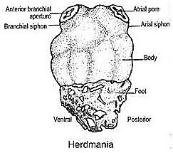 Subphylum Protochordate
