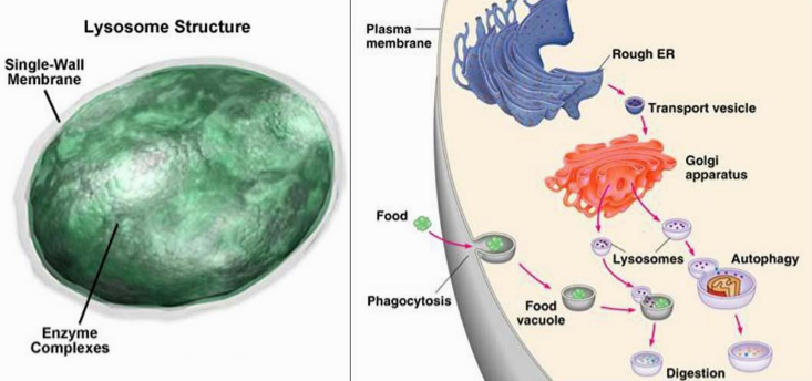 Lysosome - A single membrane organelle