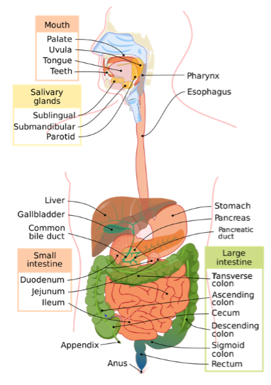 Digestive Tract in Humans