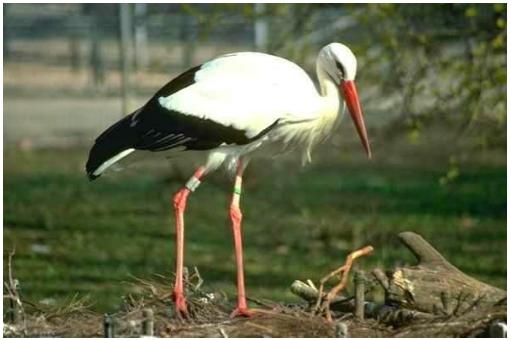 The Siberian Crane
