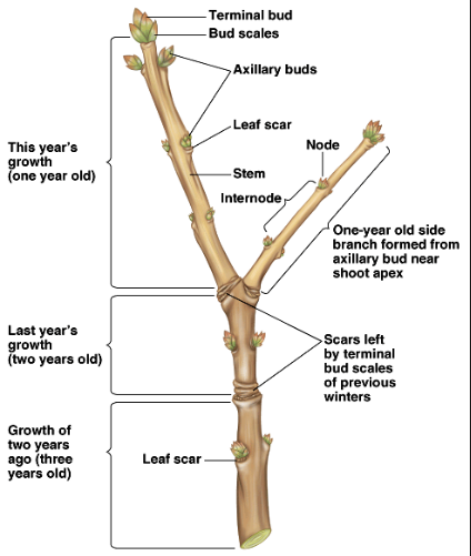 Growth cycle of a common stem