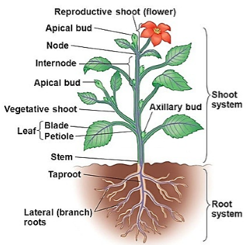 Roots and Shoot in a Plant