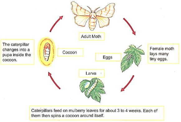 Metamorphosis in Silk moth