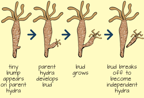 Budding in Hydra