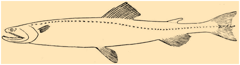 Harpodon (Bombay duck)
