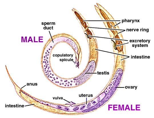 Structure of Male & Female Nematode