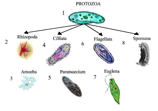 Protozoa : Habitat, Morphology, Structure, Classification &amp- Life ...