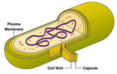 Structure of a Bacteria