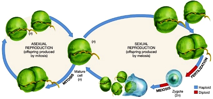 Haploid life cycle of protists