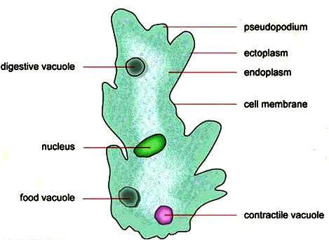 Amoeboid Proteus