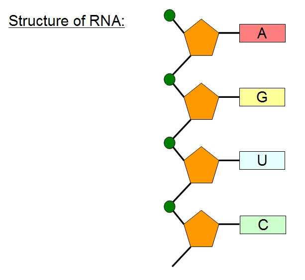 Biology- Nucleic Acids