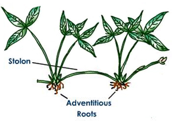 Adventitious Root System