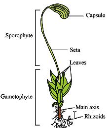 Funaria - Bryophyta