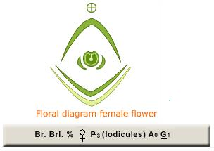 Botany 109845 what is the floral formula of graminae family 244 460female flower floral diagram and formulaeg ccuart Gallery