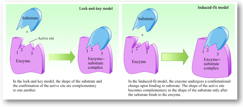 Lock and key Vs Induced fit model
