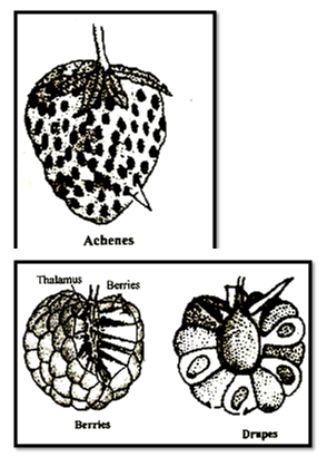 Etaerio of drupes