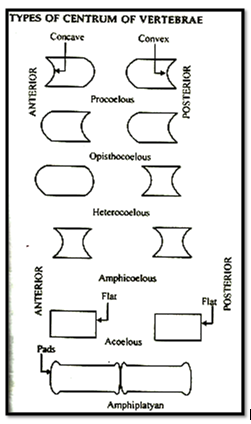 Types of Centrum Of Vertebrate