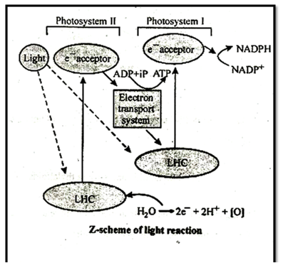 Z-Scheme of Light Reaction