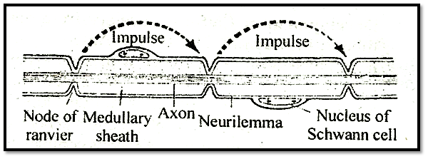 Saltatory conduction of nerve impulse:
