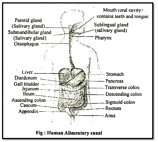 Biology Alimentary Canal Askiitians
