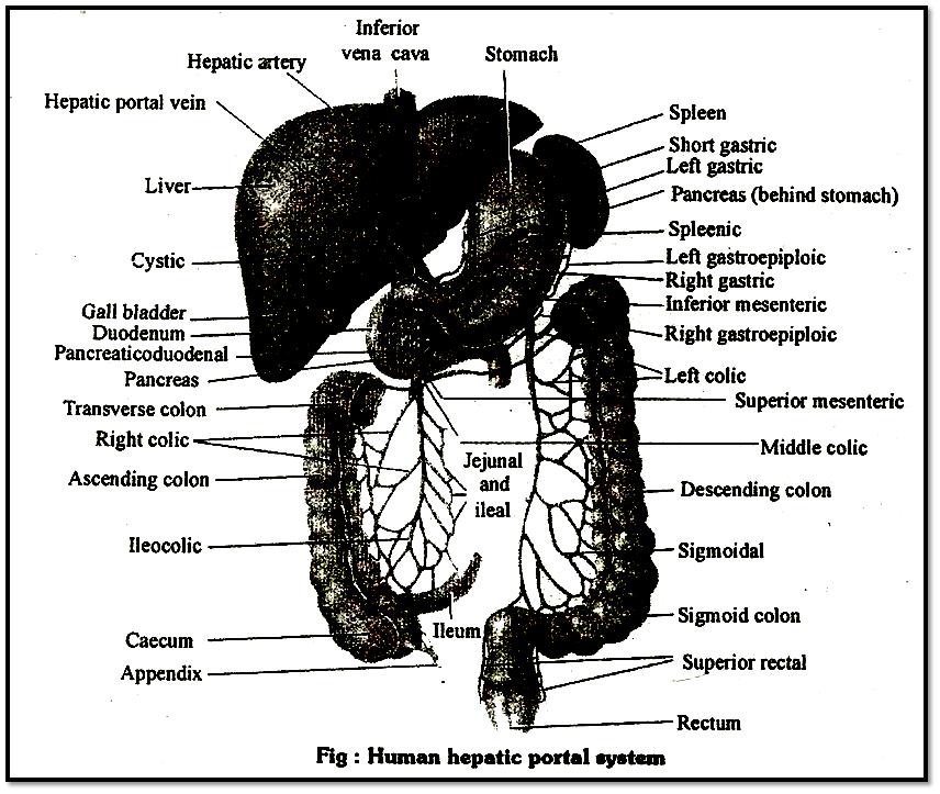 Human Heplic Portal Syatem
