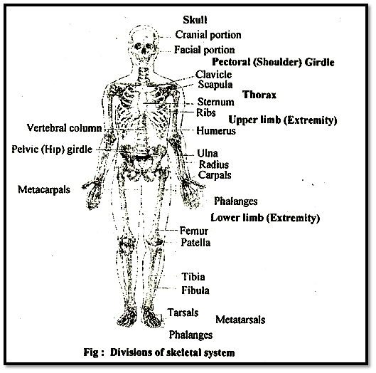 Divisions of skeletal system