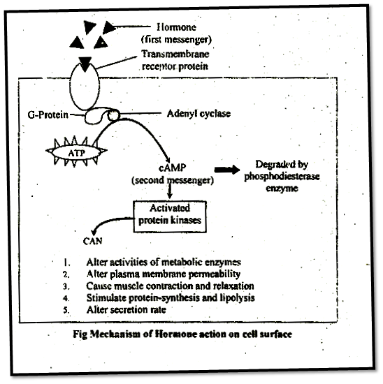 Mechanism of Hormone Action on Cell Surface