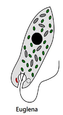 2014616 12221849 3742 euglena