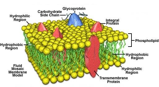 2014624 123328588 2342 plasma membrane