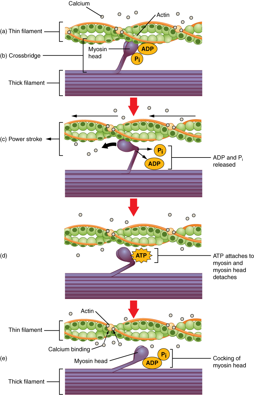 201478 18359517 3607 skeletal muscle contraction