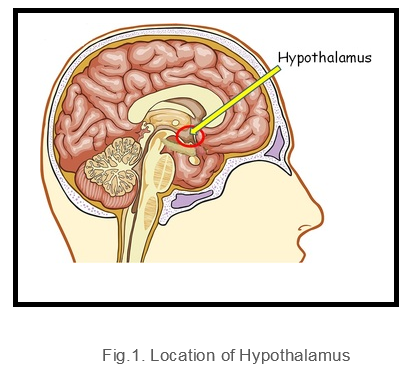 Location of Hypothalamus