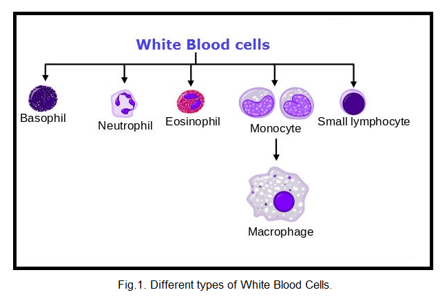 Different types of White Blood Cells.