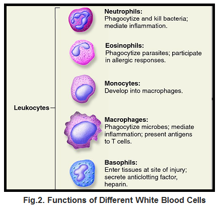 Functions of Different White Blood Cells