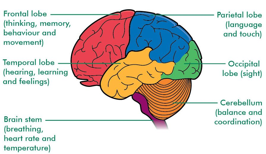 Different Lobes of Cerebrum and their function