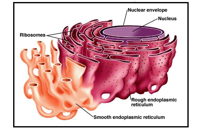 3D structure of ER