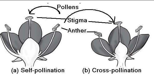 Pollen pistil interaction