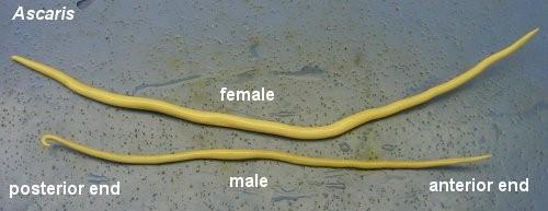Ascaris (Round Worm)